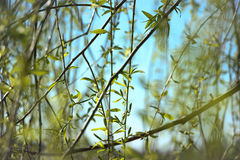 Isolated weeping willow Royalty Free Stock Image