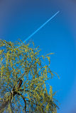 Isolated weeping willow. On a blue background Stock Image