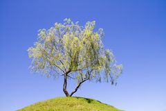 Isolated weeping willow tree on a hill Stock Photo