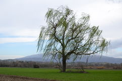 Isolated weeping willow Stock Photography