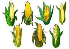 Isolated weet corn cobs vegetables Royalty Free Stock Photos