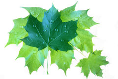 Isolated wet maple leaves royalty free stock images