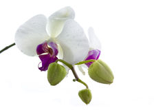 Isolated wet orchid Royalty Free Stock Photos