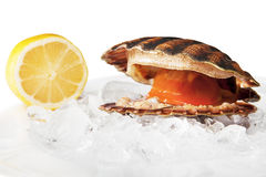 Isolated on white alive scallop. Isolated on white scallop on ice with lemon. Open scallop. Closeup. Selective focus Stock Photo