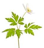 Isolated white animone flower Stock Images