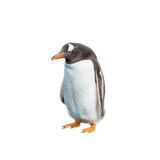Isolated at white background funny penguin. Looking stupid Stock Photo