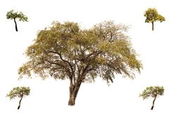 Collection of trees, Indian Jujube and little Tabebuia Aurea trees isolated on white background, look fresh and beautiful. royalty free stock image