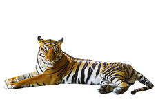 Isolated white background of indochinese tiger face lying with r Stock Image