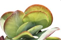 Isolated in white background the Kalanchoe thyrsiflora is a plant of the family Crassulaceae. Native to Madagascar stock photo