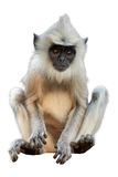 Isolated on white background, langur baby royalty free stock photo