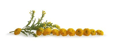Neat Row of Yellow flower heads Royalty Free Stock Photos
