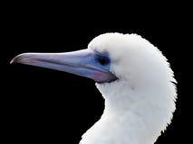 Isolated White Bird. White Bird with Blue Beak Isolated on Pure Black Background stock photography