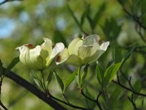Isolated Blooms on Dogwood Tree stock photo