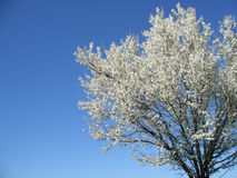 Isolated white blossoming cherry tree in a spring afternoon, cro Royalty Free Stock Photography