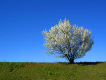 Isolated white blossoming cherry tree in a spring afternoon, hor Stock Image
