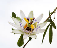 isolated white blue passion flower Passiflora caerulea Royalty Free Stock Image