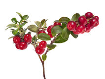 Isolated on white branch with large red cowberries Stock Image