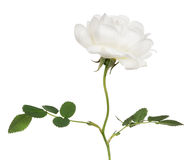 Isolated white brier flower on stem Royalty Free Stock Photo