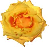 Isolated on white bright yellow rose bloom Royalty Free Stock Images