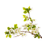 Isolated white cherry branches Royalty Free Stock Image
