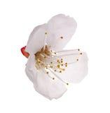 Isolated on white cherry tree flower Stock Photo