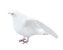 Isolated white color pigeon with disclosed wings Royalty Free Stock Image