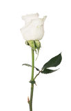 Isolated white color rose with three green leaves Royalty Free Stock Photos