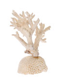 Isolated white coral branch Royalty Free Stock Photo