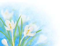 Isolated white crocus Stock Images