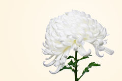 Isolated white daisy 4 Royalty Free Stock Photos
