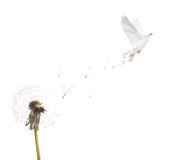Isolated white dandelion and dove Stock Image