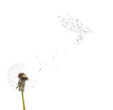 Isolated white dandelion and dove from seeds Stock Images