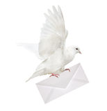 Isolated white dove carrying envelope Stock Photography