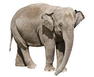 Isolated on white elephant Royalty Free Stock Photography
