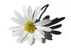 Isolated white flower. White daisy isolated on white royalty free stock photos