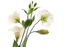 Isolated white flowers Royalty Free Stock Photos