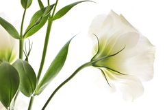 Isolated white flowers Stock Photos