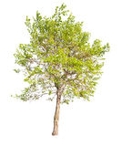 Isolated on white green spring tree. Green spring tree isolated on white background stock images