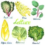Lettuce variety set: Purple Cale, Frisee, Watercress, Belgian Endive, Buttercrunch, Greenleaf. Isolated on white hand painted watercolor illustration of lettuce Royalty Free Stock Images