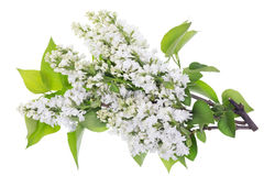 Isolated white lilac branches Royalty Free Stock Image