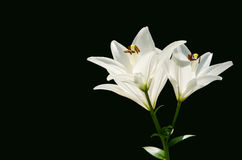 Isolated white lilies in front of a black background. Radiant white lilies in front of a black background - a very symbolic motif Royalty Free Stock Photo