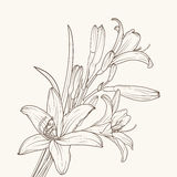 Isolated white lily flower. Isolated elegant white lily flowers with stem, leaves and prominent buds. Brown outline on beige background. Detailed sketch drawing Stock Photo