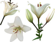 Isolated white lily flowers set Stock Photo