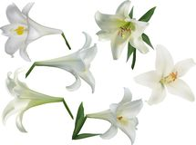 Isolated white lily six flowers set stock photography