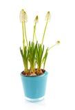 Isolated White magic flower of Muscari botryoides Stock Image