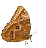 Isolated on white morpho Royalty Free Stock Photography