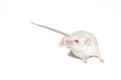 Isolated white mouse. The white mouse. isolated from white background stock image