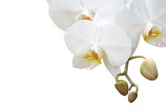 Isolated white orchid Stock Photo