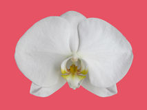 Isolated White Orchid Royalty Free Stock Photos
