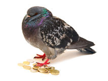 Isolated on white pigeon on coins. Stock Photos